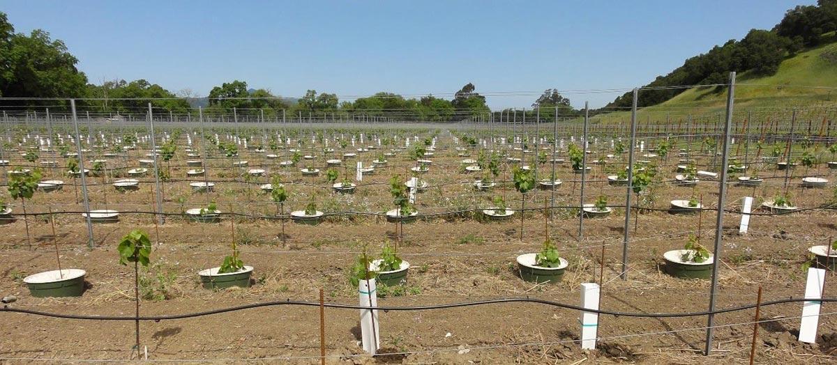 Planting a vineyard in Napa Valley, California